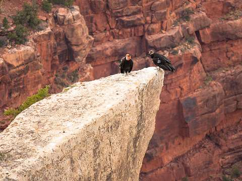 Condors at the Grand Canyon. Photo: Derek Bruff via Flickr.