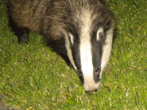 A mother badger with three cubs to feed looks for food in garden in rural Dorset. Photo: Lesley Docksey.