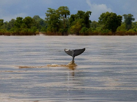 An Irawaddy dolphin slips beneath the surface of the Mekong river at Kampie, Cambodia. Photo: Jim Davidson via Flickr