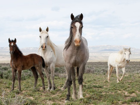 Wild mustangs are a powerful symbol of American freedom - but they cannot be left to reproduce indefinitely. Photo: Carol Walker, Author provided.