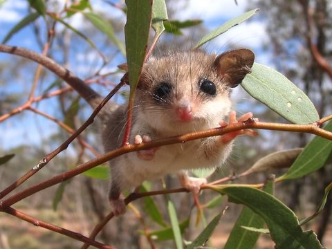 Western pygmy possums use tree hollows that take decades to develop in mallee ecosystems. Photo: Lauren Brown.