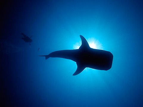 Whale shark and diver. Photo: Robin Hughes via Flickr.