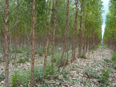 Suzano's eucalyptus plantations in Urbano Santos, Brazil, specifically planted to satisfy the EU's projected future biofuel demand.