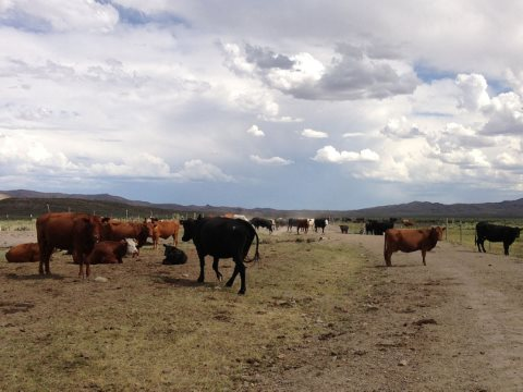 Ranching on BLM lands is a taxpayer-subsidised environmental degradation. Photo: Cattle near the Bruneau River in Elko County, Nevada. Photo: Famartin / Wkimedia Commons CC BY-SA 3.0.