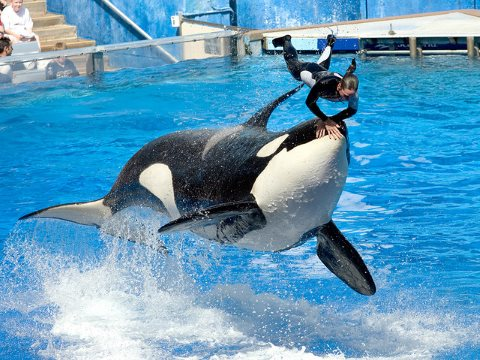 Impressive and exciting, for sure. But what kind of life is it for an orca? Photo: Orca and trainer at SeaWorld in Orlando, Florida by Jeff Kraus via Flickr.