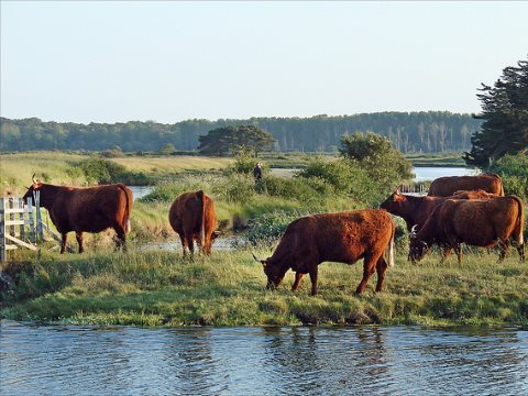 Is France determined to put an end to this kind of farming? Cattle grazing in the marais d'Olonne, Vendée, in Western France. Photo: Jean-Pierre Dalbéra via Flickr.