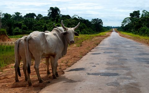 Cattle are still driving deforestation in the Amazon - but a new wave of cash crop agriculture for palm oil and other commodities is on its way. Photo: Kate Evans for Center for International Forestry Research (CIFOR) via Flickr.