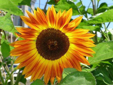 Boston in bloom - sunflower at the Eglestone Community Orchard. Photo: Alvin Kho via Facebook.