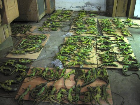 Over 50% of an iguana shipment found dead. Photo: PETA.