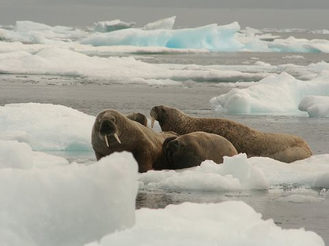 Building on existing cooperation to protect the fragile Arctic environment and its wildlife could be the key to forestalling a new Cold War over Arctic resources. Photo: Walrus, by Colin Jagoe via Flickr.