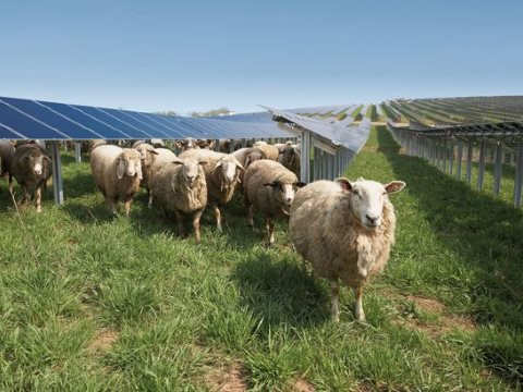 Sheep enjoying the shade created by solar panels at Conergy Solar Park at Fohren in Germany. Photo: Conergy.