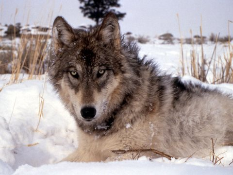Wolves - to reduce farm animal predation, don't shoot them! Photo: USFWS Midwest, CC BY.