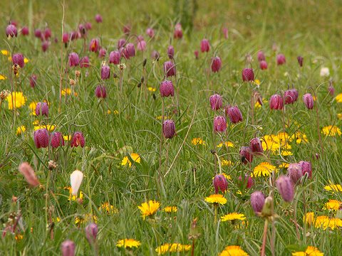 Precious nature: Snakeshead fritillaries and dandelions on North Meadow, Cricklade - an uncultivated water meadow of 110 acres that contains 80% of the UK population of the Snakeshead Fritillary. Photo: Nick Warner via Flickr.