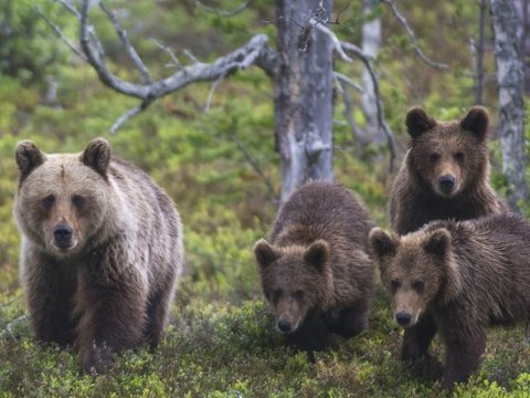 A female brown bear with three yearlings in Gutulia National Park in SE Norway. Bears and other carnivores do not only live in protected areas - Europe lacks enough true wilderness for that model of conservation. Instead, humans and wildlife must coexist.