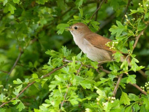 England's nightingales have suffered a 90% population crash in 40 years, but Medway Council has decided that its 'protected' SSSI sanctuary is fair game for development. Photo: John Bridges / RSPB.
