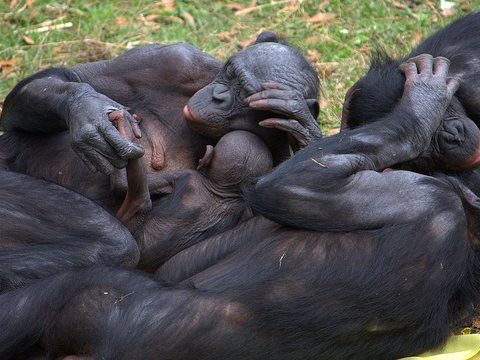 Bonobo group hug. Photo:  LaggedOnUser via Flickr, CC BY-SA 2.0.