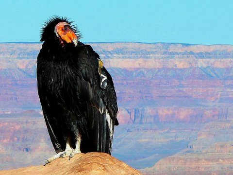 A California Condor near the South Kaibab Trail, Grand Canyon. Photo: George Kathy Klinich via Flickr (CC BY 2.0).