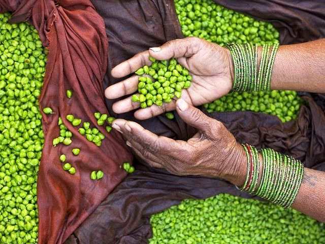 Fresh green chickpeas on sale in Varanasi, India. Photo: © Jorge Royan (royan.com.ar) via Wikimedia Commons, (CC BY-SA 3.0).
