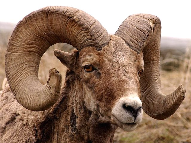 Old Bighorn ram on the banks of the North Fork of the Shoshone River after eating some of the first green grass of spring. Photo: Yellowstone Gate via Flickr (CC BY-NC-ND 2.0).