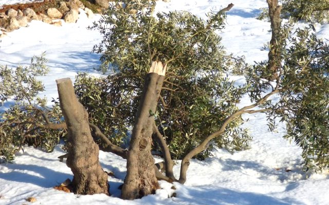 Olive tree cut by Israeli settlers from illegal settlements in the South Hebron Hills. Photo: Operation Dove.