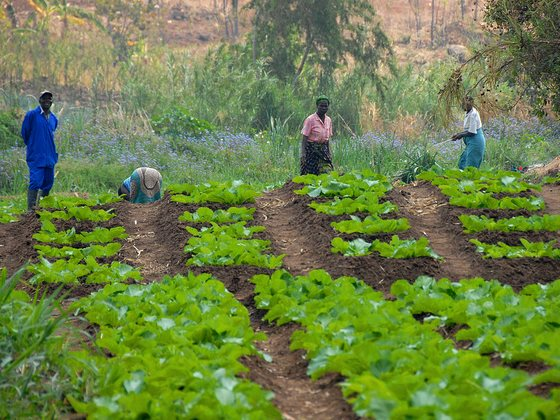 After a crash in the price of tobacco, Malawian farmers in Chiradzulu district have opted for crop diversification and a path to food security. Photo: Travis Lupick via Flickr (CC BY-NC-SA 2.0).