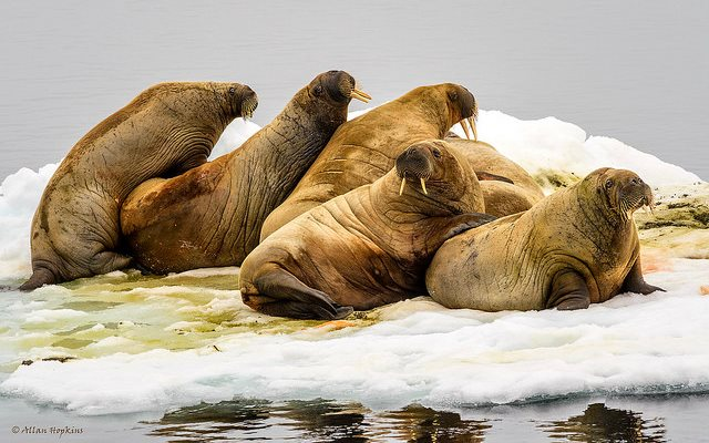 Will walruses (Odobenus r. rosmarus) be stranded by melting ice in the Arctic? A herd of young males resting on a small patch of drifting ice at 80° North, off Moffen Island, Svalbard, Norway. Photo: Allan Hopkins via Flickr (CC BY-NC-ND).