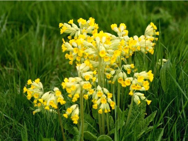 Cowslips (Primula veris). Photo: Donna JW via Flickr (CC BY).