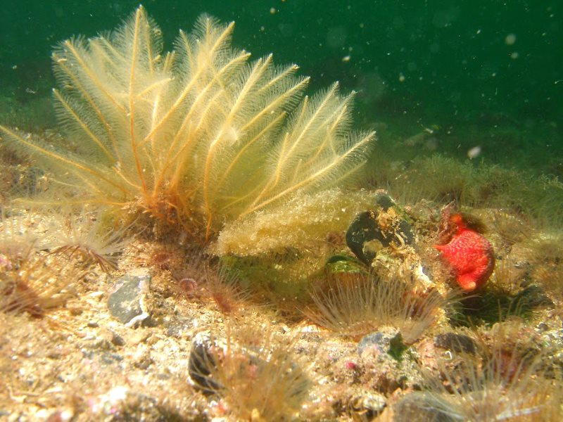 Recovering marine life within the Lamlash Bay 'no take zone'. Photo: Howard Wood / COAST.