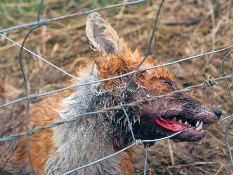 A fox caught in a snare set on a fence. The overwhelming majority of snares are used, not to protect farm animals or catch rabbits for the pot, but to kill predators around 'game' birds like pheasants and grouse. Photo: Leage Against Cruel Sports.