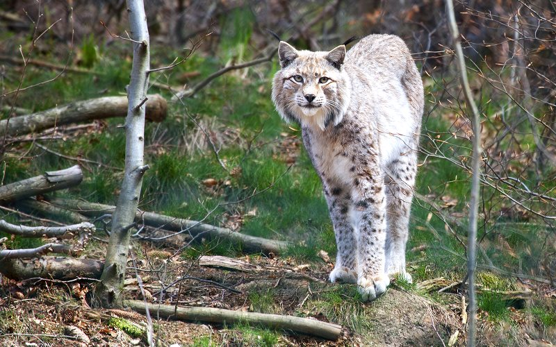 A Eurasian lynx captured on film by Erwin von Maanen in its native Scandinavian setting.