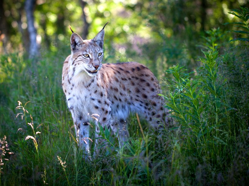 A female Eurasian Lynx (Lynx Lynx Lynx) in her summer coat in a Norwegian forest near Liaset, Buskerud Fylke. Photo: Tom Bech via Flickr (CC BY).