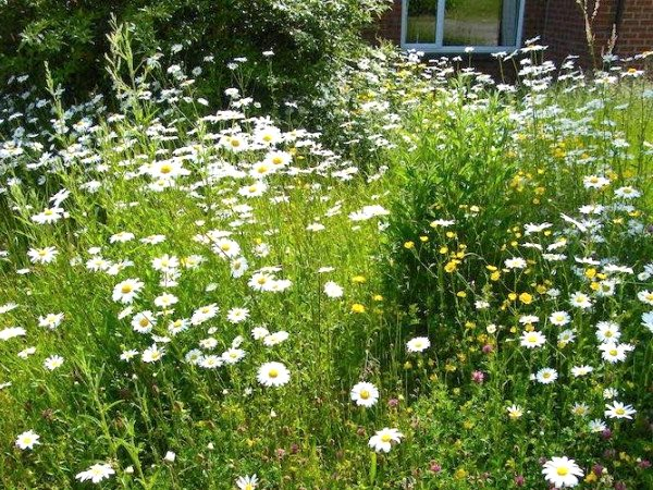 Transformed! An early summer riot of Ox-eye Daisies, Red Clover and Meadow Buttercups. Photo: Jo Cartmell.