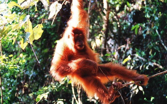 Something to celebrate: an orangutan swings through the jungle near Bukit Lawang in Sumatra, Indonesia. Photo: Nick Leonard via Flickr (CC BY-NC-SA).
