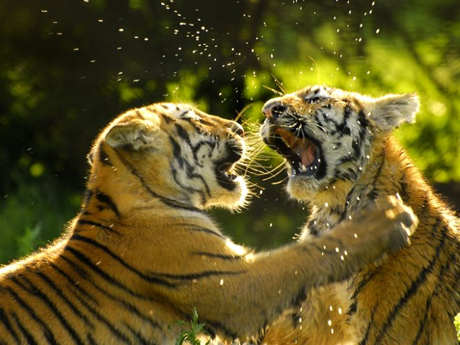 Young Bengal Tigers at play. Photo: Martin Heigan via Flickr (CC BY-NC-ND).
