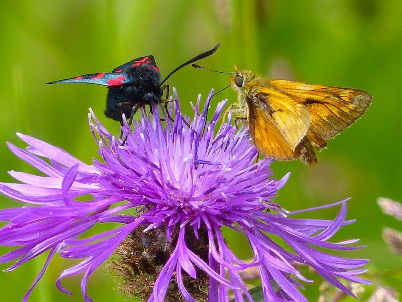Six Spot Burnet Moth and Large Skipper Butterfly supping nectar on Common Knapweed. Photo: © 2015 Jo Cartmell.