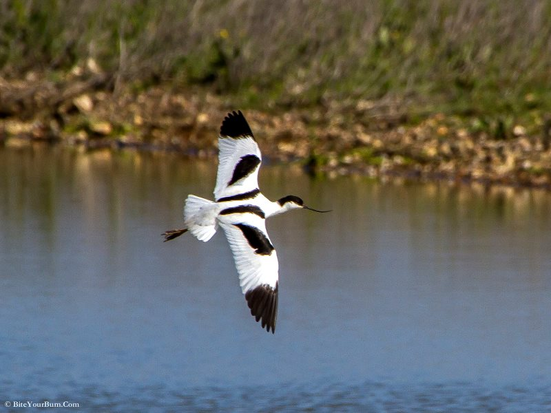 Avocet (Recurvirostra avosetta) at RSPB Medmerry, West Sussex England. Photo: BiteYourBum.Com Photography via Flickr (CC BY-ND).