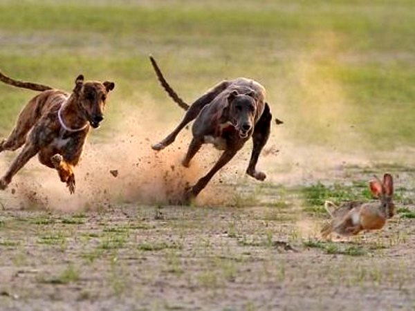 Hare coursing. Photo: via C Duggan / Flickr (CC BY-NC).