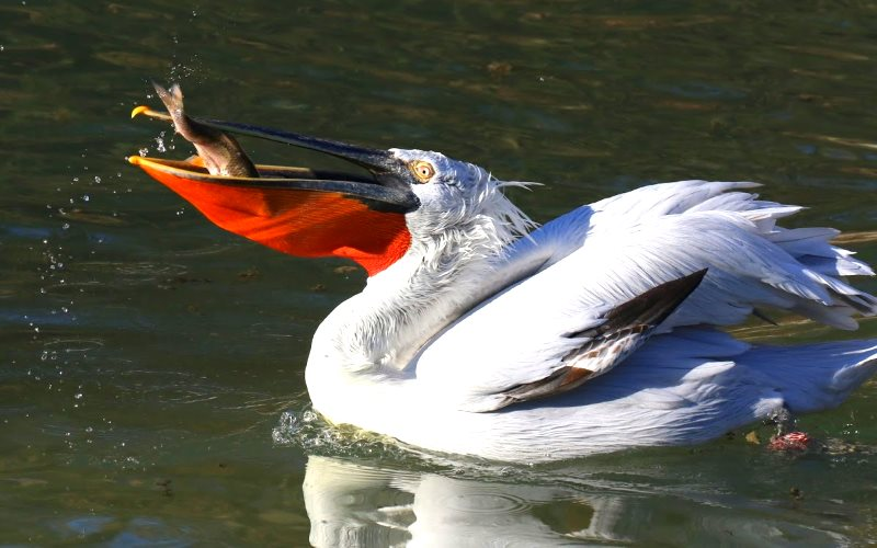 The Dalmatian pelican suffered large declines in the last centuries due to habitat loss and degradation and persecution, but thanks to habitat management and restoration the population in Europe is recovering and the species is no longer at risk. Photo: B