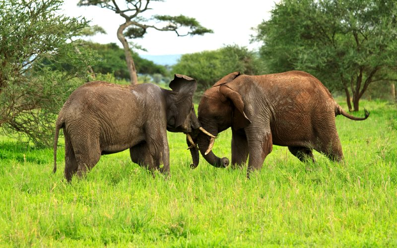 Almost one in every two of Tanzania's elephants has been lost in the last five years - but the government is more concerned to conceal the truth, than to tackle the crisis, Photo: Sakke Wiik via Flickr (CC BY-NC-ND).