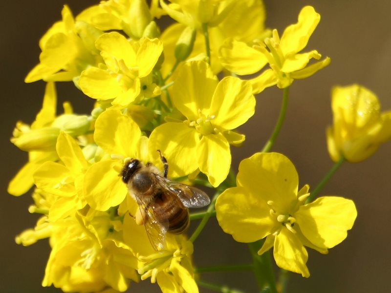 The EU's neonicotinoid moratorium forbids the use of the chemicals on oilseed rape as bees can receive fatal doses while pollinating the plants - but that's exactly what the NFU wants permission to do. Photo: j_arlecchino via Flickr (CC BY-NC).