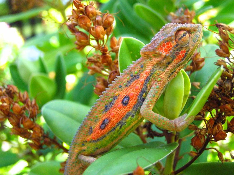Cape Dwarf Chameleon (Bradypodion pumilum) in Cape Town, South Africa. Photo: Elton Harding via Flickr (CC BY-NC-ND).