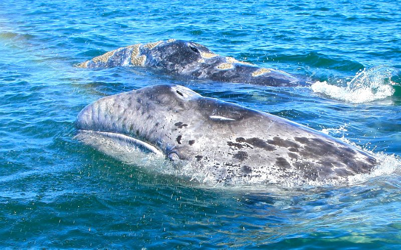 Gray whales in the San Ignacio Lagoon, Baja California Sur, Mexico, near the proposed site of a 225,000-acre undersea phosphate mine that could release radioactive uranium and thorium into the marine environment. Photo: ryan harvey via Flickr (CC BY-SA).