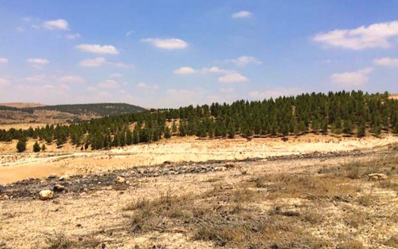 The JNF-sponsored Yatir Forest advances over a hill towards the Bedouin village of Atir. Photo: Amjad Iraqi / 972 Mag.