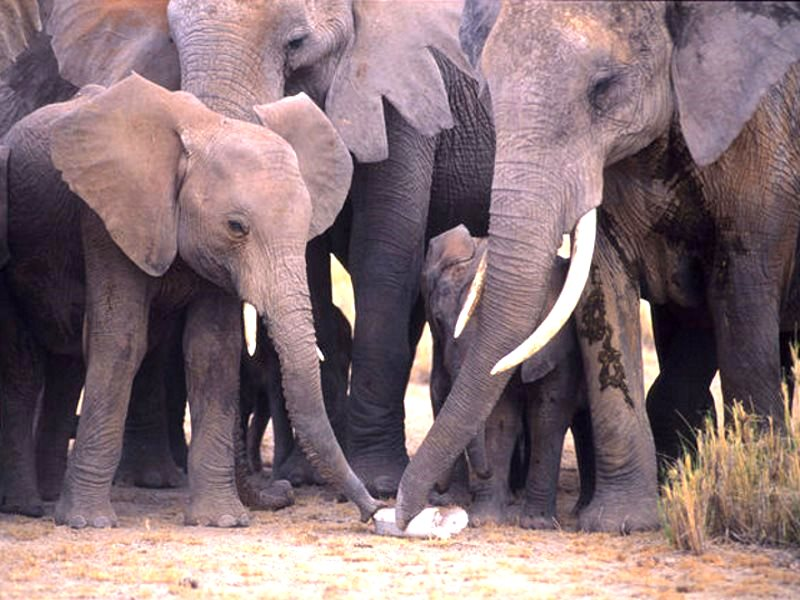 Elephants examine the tusk of a poached sibling. Photo: Karl Ammann, author provided.