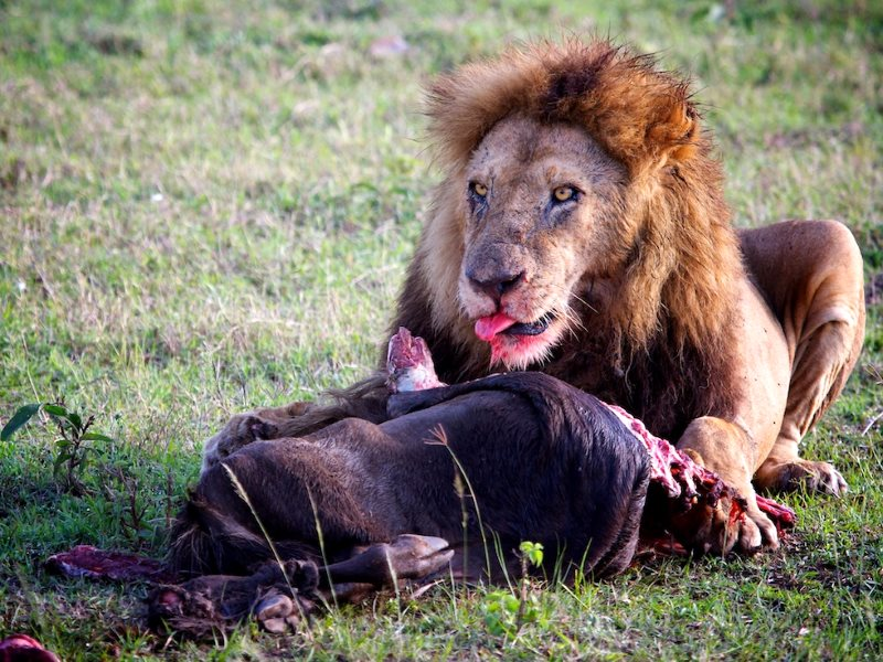 Meat is all very well for lions, like this one in the Masai Mara, Kenya. But can the planet take billions of humans eating it too? Photo: Stuart Richards via Flickr (CC BY-ND).