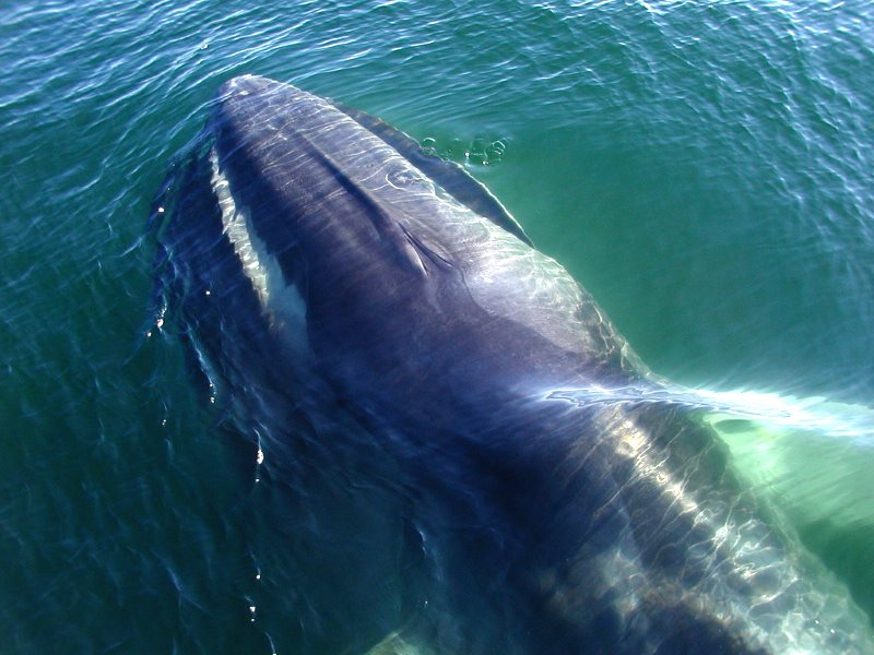 A Fin Whale (Balaenoptera physalus) off the coast of Massachusetts, USA. Photo: chris buelow via Flickr (CC BY-NC).