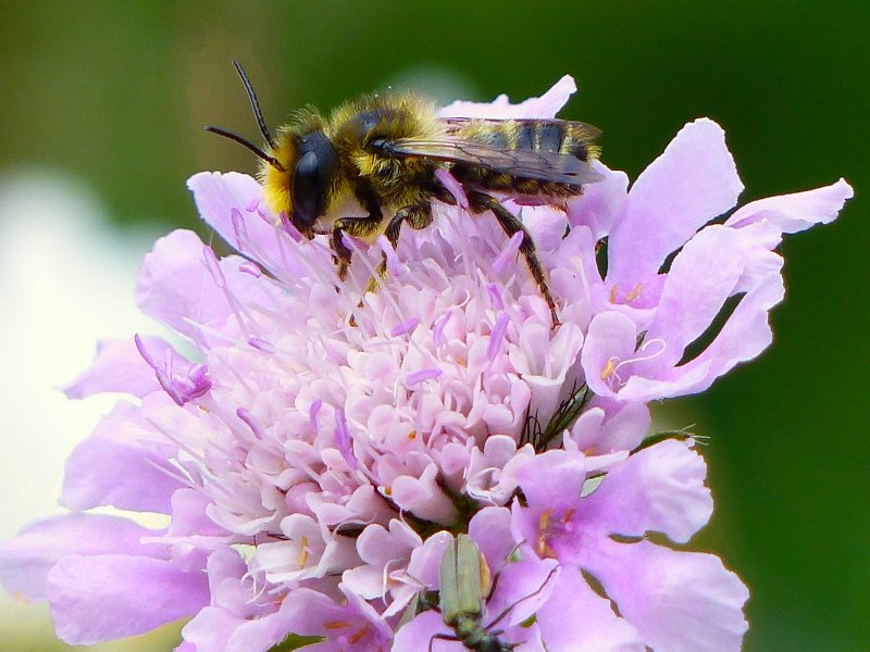 Solitary Leaf-cutter bee (Megachile centuncularis) nectaring on Small Scabious in Jo's wild flower meadow, Photo: © 2015 Jo Cartmell.