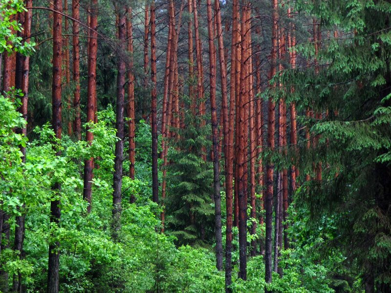The Augustow Primeval Forest in Poland - saved from a motorway project by the EU's nature laws. Is the problem that they work too well? Photo: Erik de Haan via Flickr (CC BY-NC).