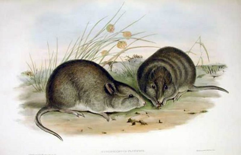 Farewell, Broad-faced potoroo. We hardly knew ye. Photo: John Gould.