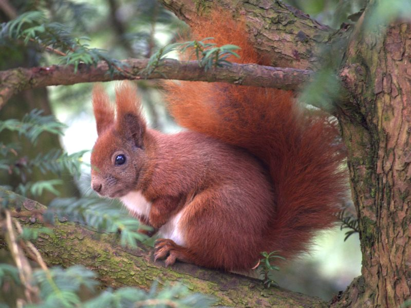 Saving our red squirrels is fine - but only if we reach beyond our shores to where the real biodiversity lies, and is under threat. Photo:  j_gldsck via Flickr (CC BY-SA).
